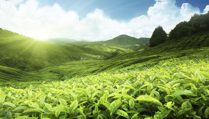 India the tea producer